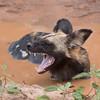 African Wild Dog, big teeth