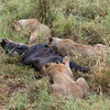 Three lioness with a wildebeest kill