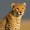 Sunrise Cheeta
