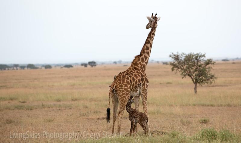 First meal, newborn Giraffe