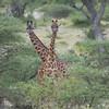 Masai Giraffe pair
