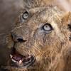 Lion cub, close up