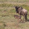Wildebeest  newborn