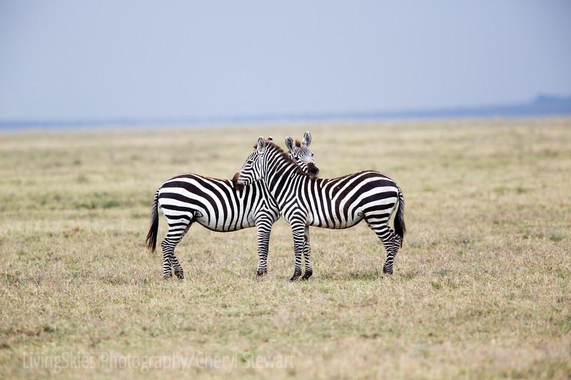 Double Zebra