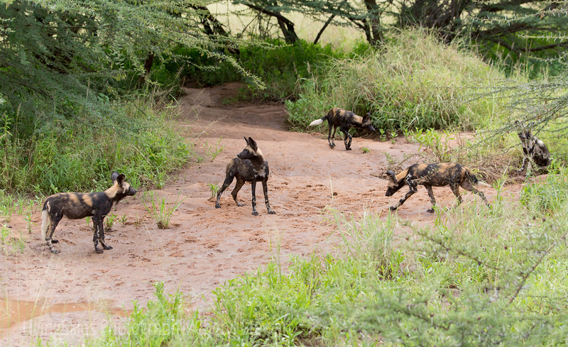African Wild Dog, group