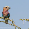 Lilac Breasted Roller on thorny Acacia