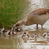 Egyptian Goose & babies