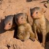 Dwarf Mongoose triple