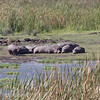Sunbathing Hippo