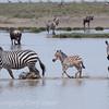 Zebra's crossing water
