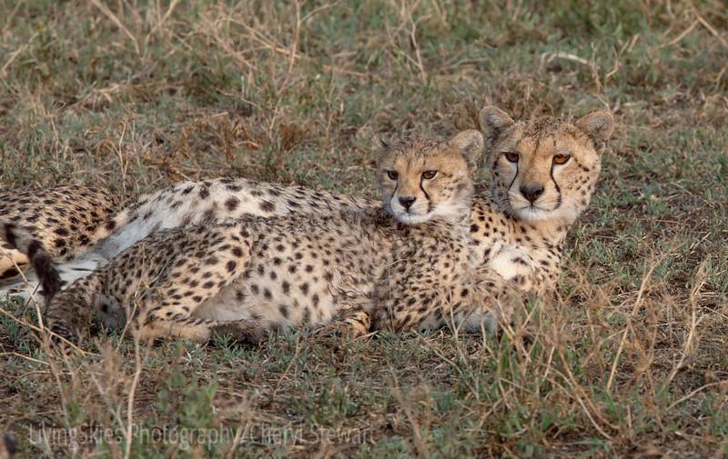 Cheeta with cub