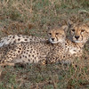 Cheeta with cub