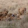 Lion pride with a Zebra Kill