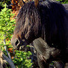 Wild Black Stallion, Pryor Mountain Mustangs