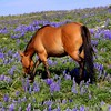 """Wild Mustang in the wild flowers, Pryor Mountains, Trademark markings show  the """"tiger stripes"""" on the legs"""