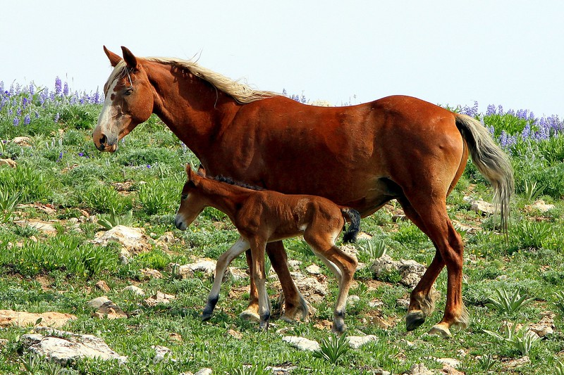 Mare with newborn foal, Pryor Mountains
