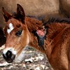 Wild horse foal, not sure if tis was a bite, or a hoof mark, but it was on it's way to healing.