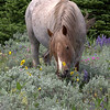 Wild horse has flowers for lunch, Pryor Mts