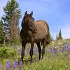 Wild Horse, Pryor Mountains
