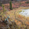The closest thing to a Caribou we saw... can you see it ?