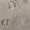 Bear tracks,  we saw tracks but no bears