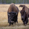 Bull & Cow Bison pair   YNP