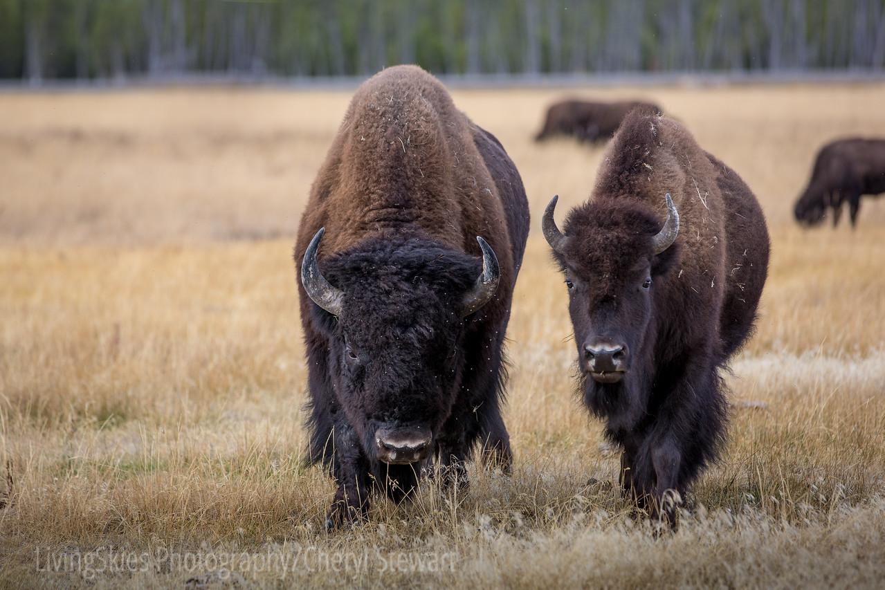 Bull & Cow Bison pair   YNP
