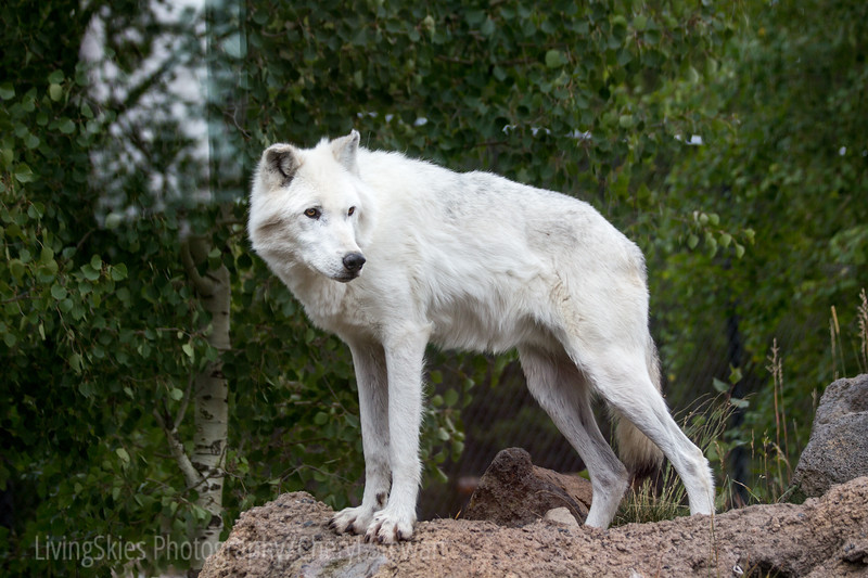 White wolf - Yellowstone Grizzly & Wolf Discovery Centre
