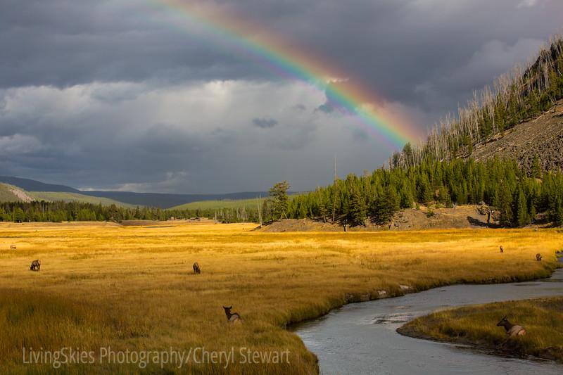 Rainbow & Elk  YNP