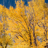 Yellow Aspens   YNP