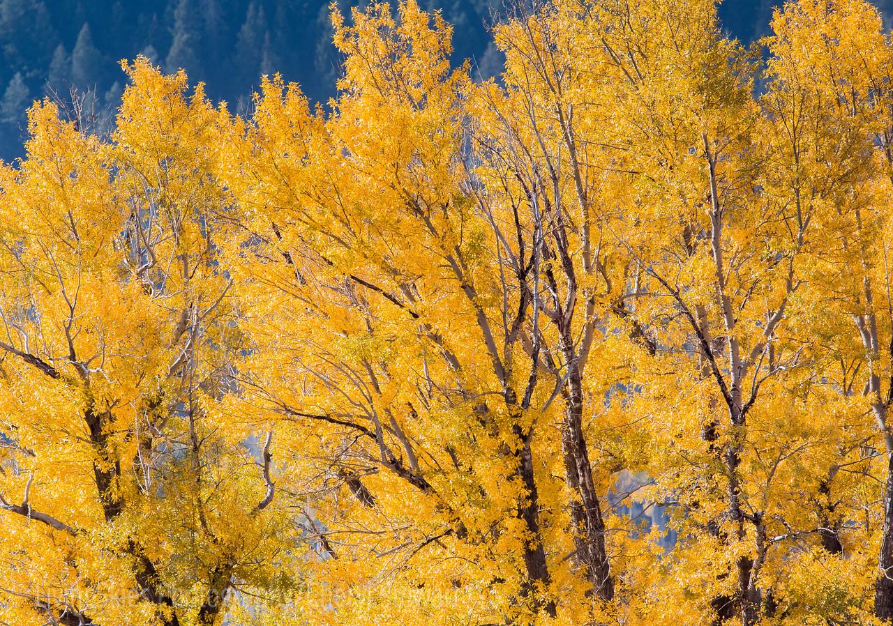 Yellow Aspens   YNP
