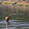 Bull Elk  crossing the river  YNP