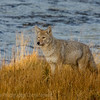 Coyote on the riverbank    YNP