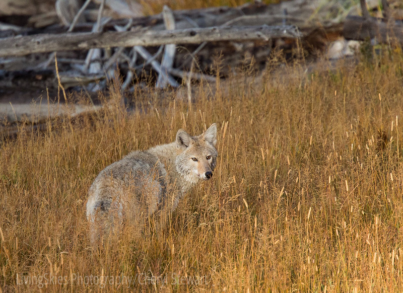 Coyote in grass   YNP