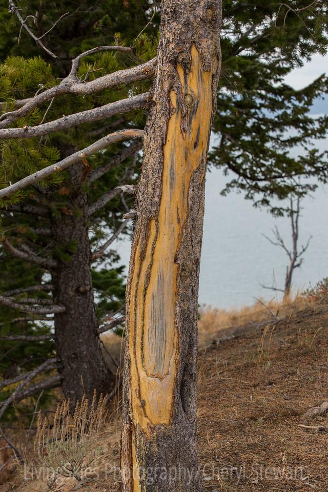 """ Bison rub "" tree   YNP"