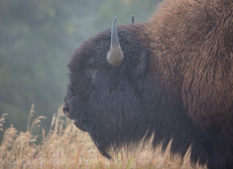 Foggy bull bison   YNP