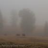 Fog trees & Bison  Yellowstone morning