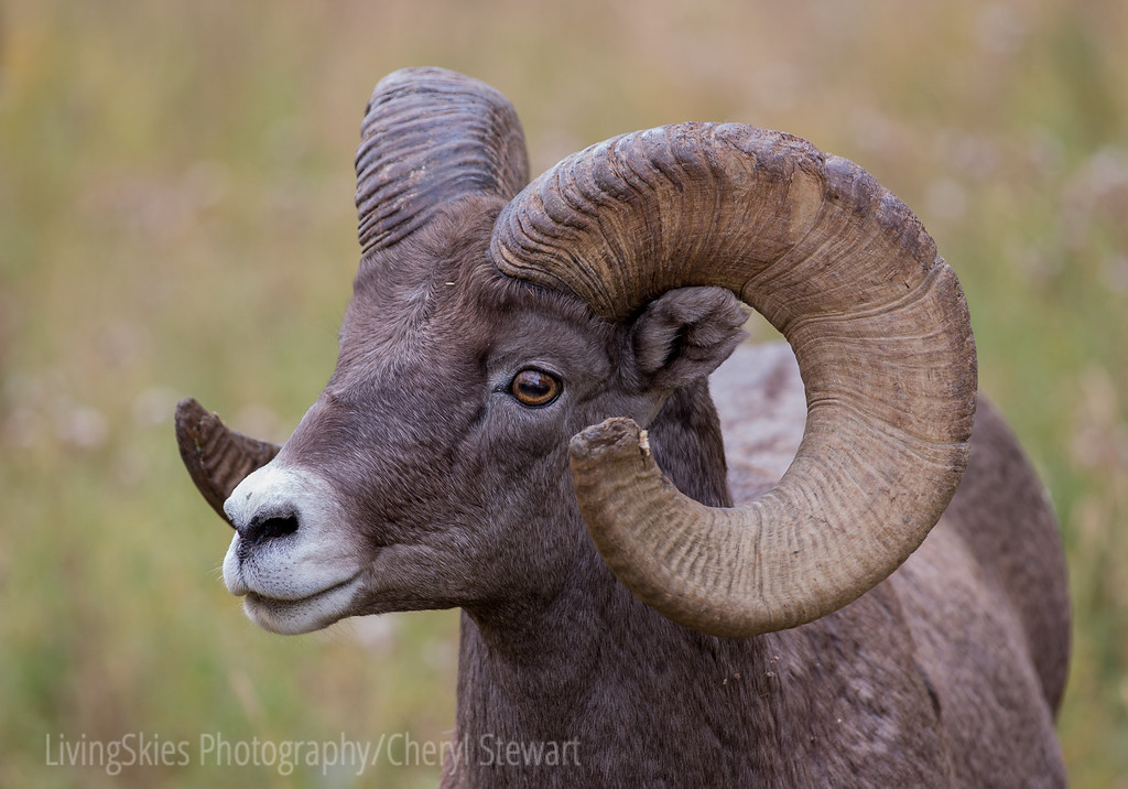 Big Horn Ram    YNP