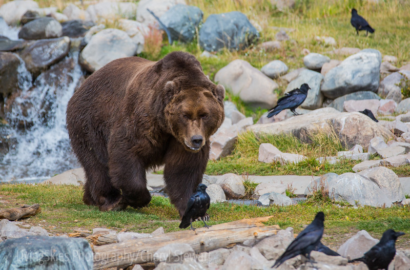 Sam the Grizzly  - Yellowstone Grizzly & Wolf Discovery Centre