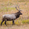 Bull Elk  in fall grass   YNP