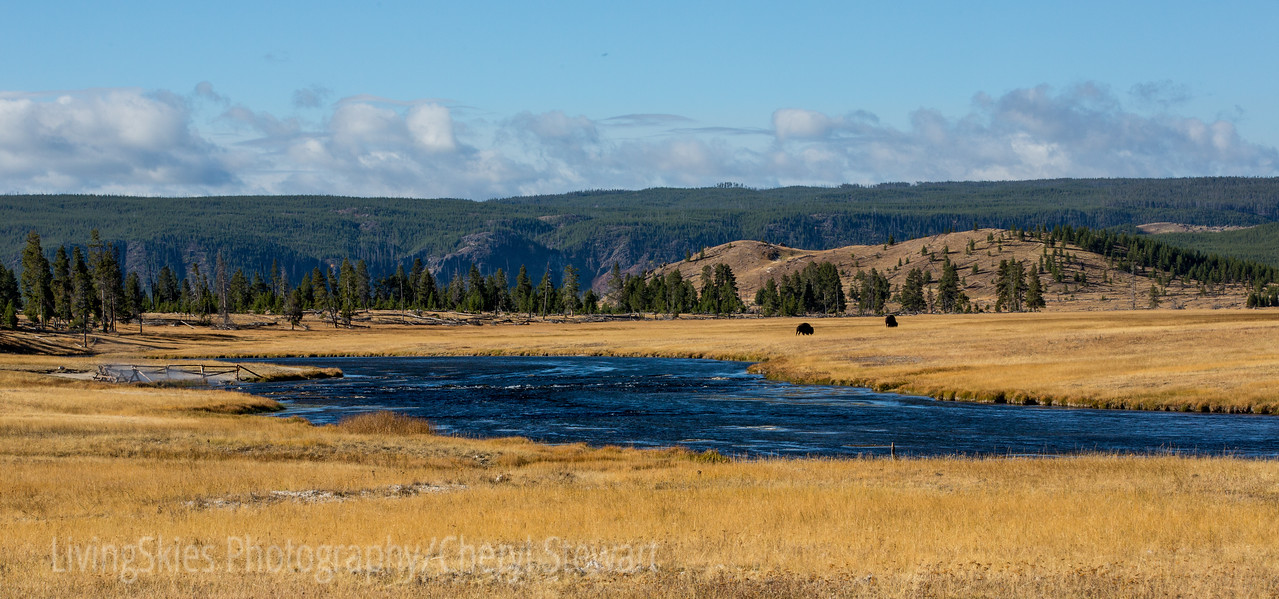 Bison in the River Valley  YNP