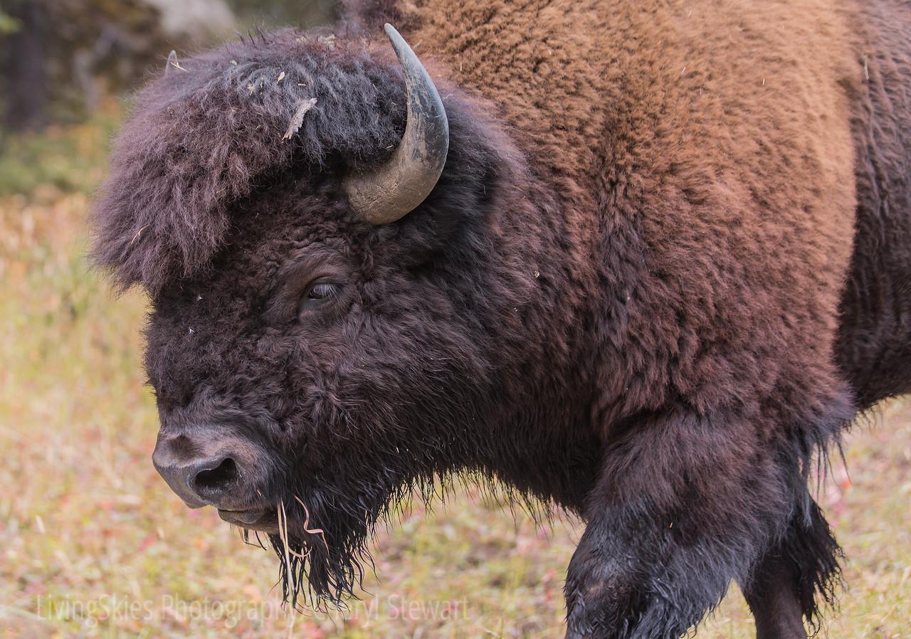 Best Hair Bison  YNP