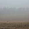 Bison & fog Yellowstone morning