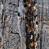 Burnt trunk YNP