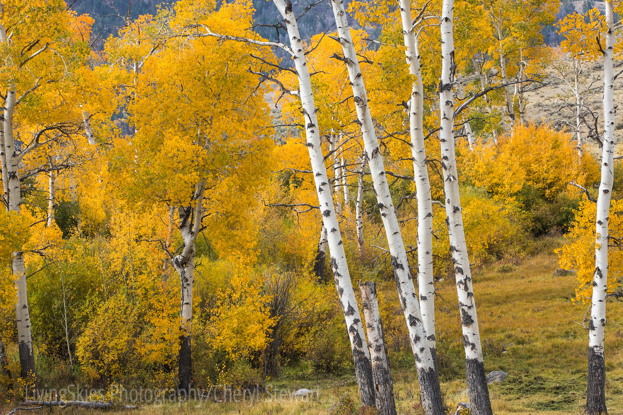 White bark & fall colour  YNP