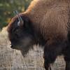 Steamy morning breath Bison,  YNP