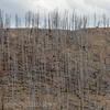 Fire trees   YNP