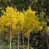 Autumn leaves   YNP