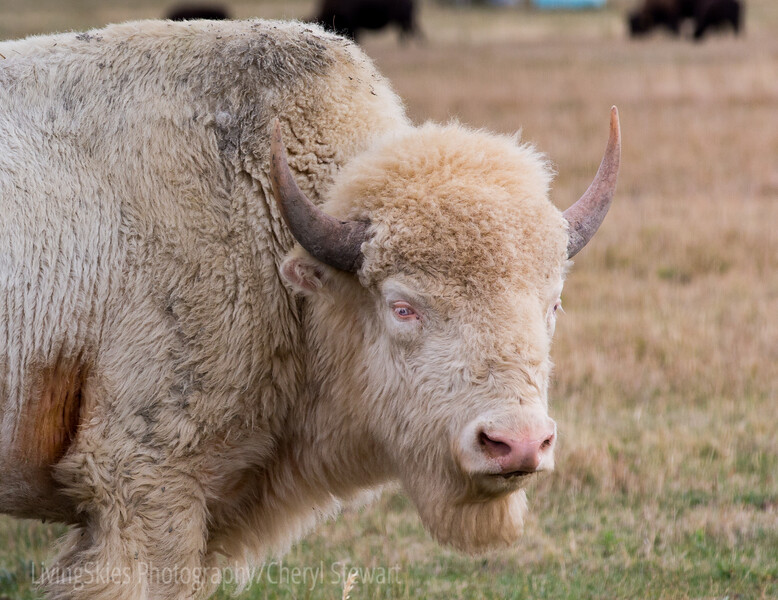 White Bison,