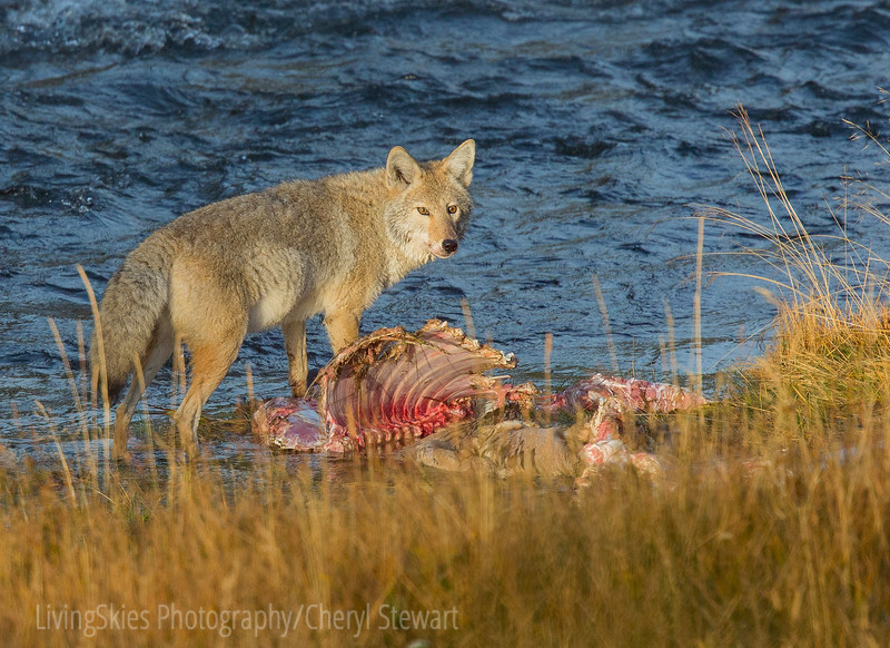coyote with elk carcass     YNP